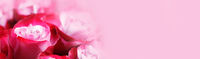 Pink rose flowers background