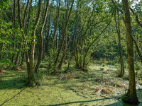 Trees standing in water full of duckweed (lemna minor) in a german swamp area - nature reserve Zarth
