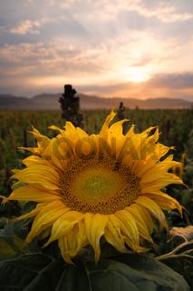 Sunflowers in a Field in Golden Sunlight