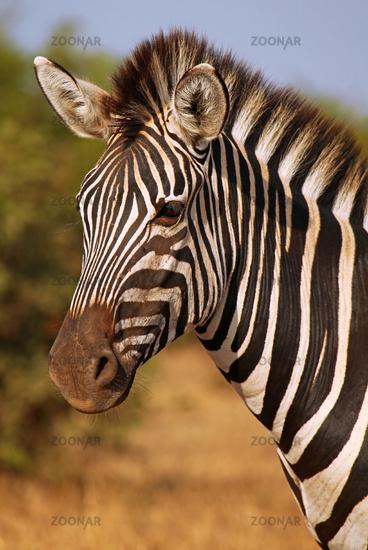 Steppenzebra im Sonnenlicht, Südafrika, Kruger NP