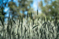 Close up of wheat moving gently in a summer breeze