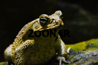 Giant neotropical cane toad portrait