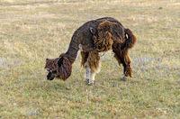 Alpaka kratzt sich