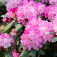 Flower Pink Rhododendron close-up