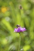 Bee on Meadow flower
