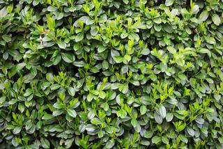Green Laurels pattern