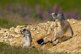 Two alpine marmots sitting near burrow and observing.