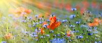 mohn- und kornblumen panorama