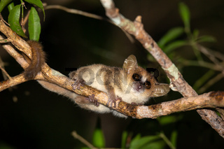 A small mouse lemur looks down from a branch at night