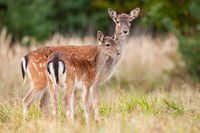 Two fallow deer standing on meadow in autumn nature