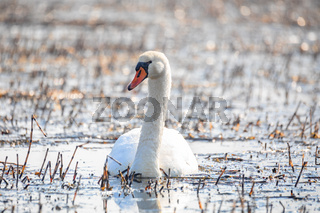 Wild bird mute swan in spring on pond
