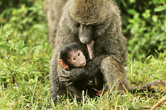 Baboons, Mother and Child