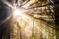 Sunrays Beam Through Trees in the Forest