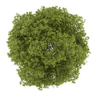 top view of white ash tree isolated on white