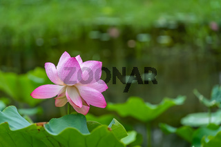 Beautiful blooming pink lotus flower