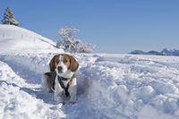 Beagle auf dem Weg zum Fockenstein