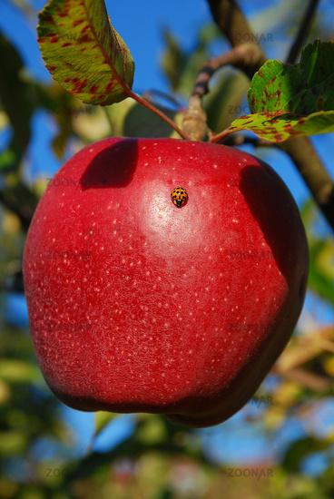 ladybug on apple