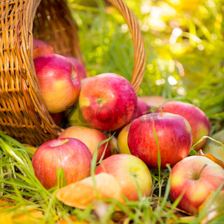 Red apples in autumn outdoors
