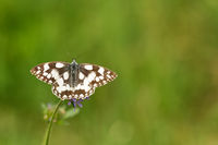 Western marbled white