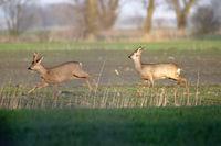 Deer run across a field