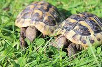 Hermann's tortoise  (Testudo hermanni boettgeri)