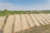 Organic Vietnamese rice vermicelli drying in the sunlight on bamboo fences near banana farm