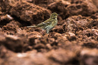 Meadow Pipit (Anthus prathensis)