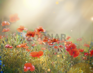 field of a blooming red poppy