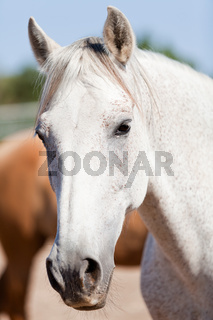 beautiful pura raza espanola pre andalusian horse