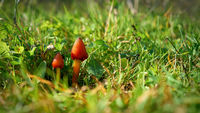 witch's hat (Hygrocybe conica) on a meadow in a Park in autumn