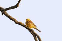 bird yellowhammer, Europe wildlife