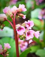 Vertical macro view of pink bergenia flowers on a stem