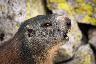 Alert alpine marmot whistling with open mouth to warn others in rocky mountains