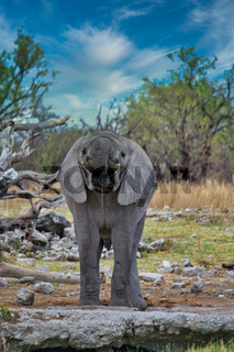 Front view of young and juvenile African elephant drinking from a waterhole