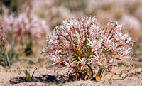 Vlei Lily, Kgalagadi Transfrontier National Park, South Africa, (nerina laticoma)