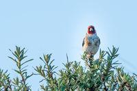 Goldfinch on sea-buckthorn