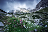 pink flowers on alpine meadows