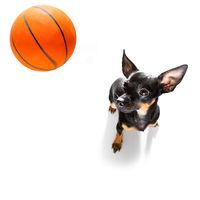 basketball  prague ratter dog