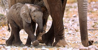 very young elephant, Etosha National Park, Namibia, (Loxodonta africana)