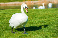 White swan on grass near lake