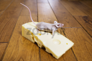 A mouse on a piece of cheese