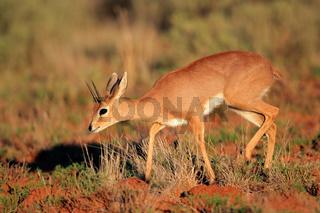 Male steenbok antelope (Raphicerus campestris)