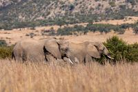 African Elephant in Pilanesberg South Africa wildlife safari.