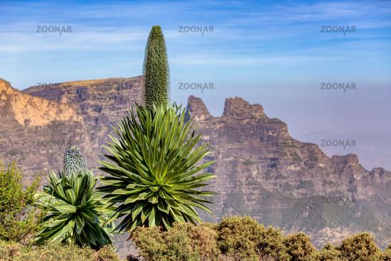 lobelia plant in Semien or Simien Mountains, Ethiopia