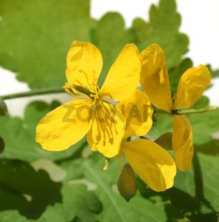 Schoellkraut, Chelidonium majus