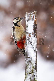 Great spotted woodpecker climbing on tree during snowing