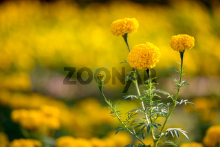 Beautiful yellow flowers blooming in the garden