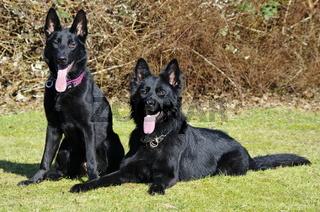 Deutsche Schaeferhunde