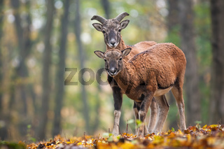 Two young mouflons looking to the camera in autumn forest.