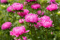 Pink aster flower in nature
